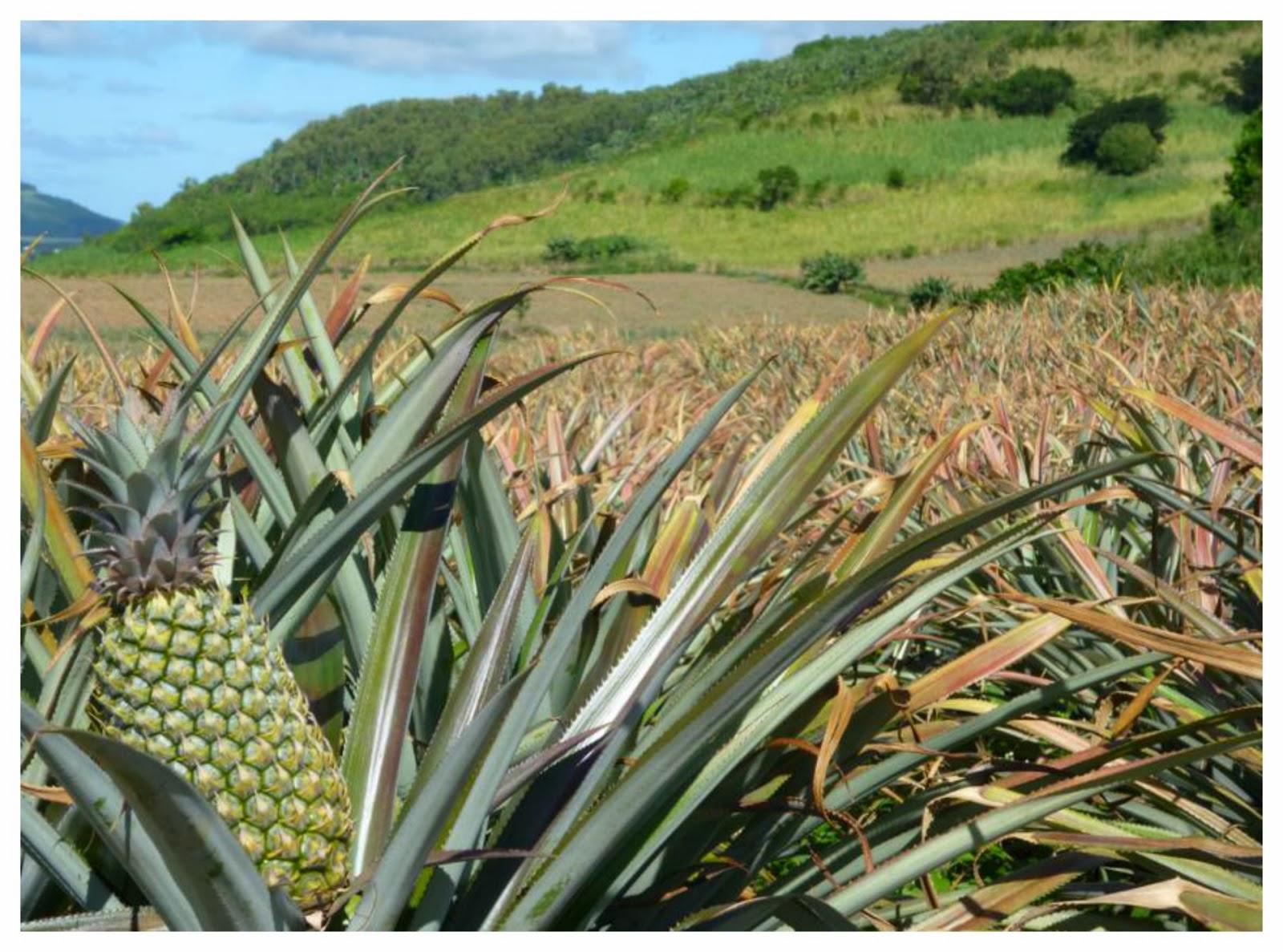 voyages et exp riences maurice ananas victoria saveurs du paradis pour le roi des fruits. Black Bedroom Furniture Sets. Home Design Ideas