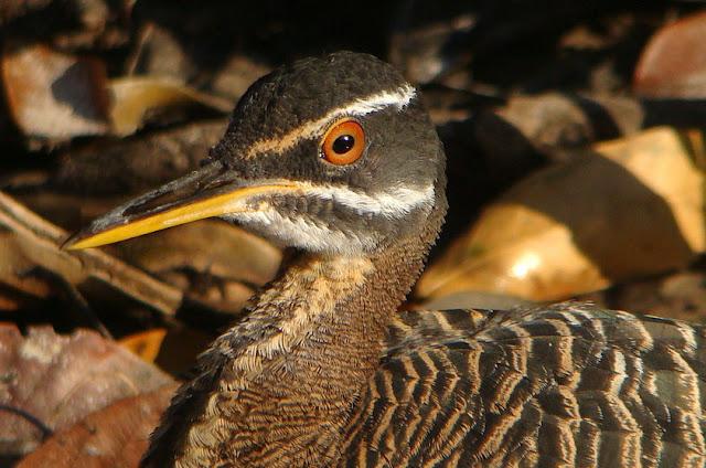Pavãozinho-do-Pará - Eurypyga helias - Amazonia