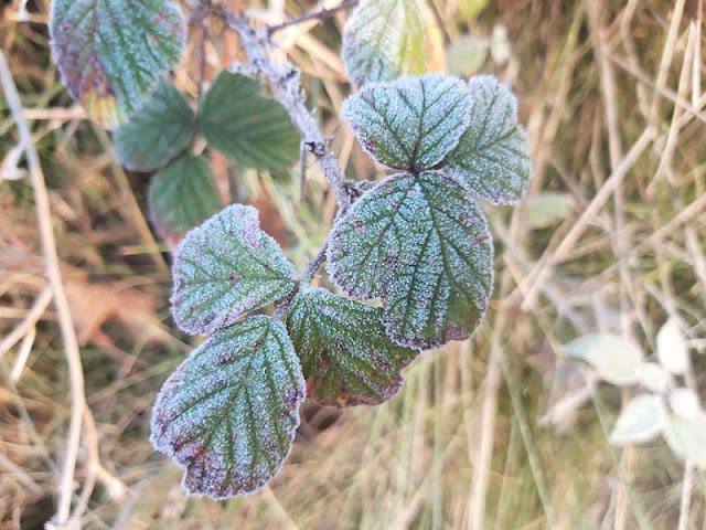 Frost on green bramble leaves.  The veins are outline and the leaves look very pretty