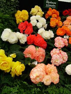 Knollbegonia i forskjellige farger