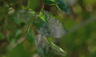 Mildew on rose leaves