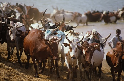 'We want tracking device on our cows' - Fulani herdsmen