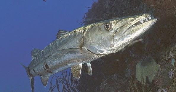 Umpan Jitu Ikan - Mancing Mania