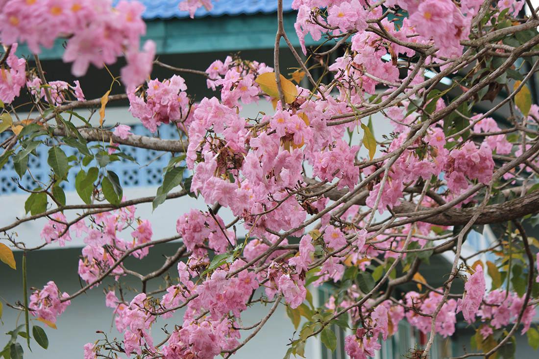 Wow 17+ Gambar Bunga Sakura Batam - Koleksi Bunga HD
