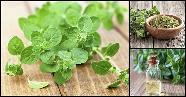 Oregano's Health Benefits And Medicinal Uses