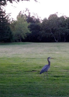 Great Blue Heron standing in a field at dusk