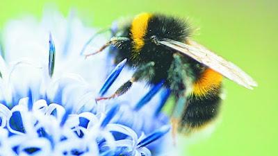 abejorro 3322806 20150705175748 - Noruega: Crean en Oslo una autopista para las abejas - El Apicultor Español: Actitud y Aptitud Apícola