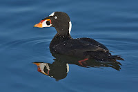 Surf Scoter, drake – Bolsa Chica Ecological Reserve, Huntington Beach, CA – Dec. 1, 2006 – Alan D. Wilson