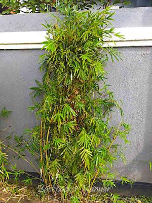 Tanaman bambu dan manfaatnya