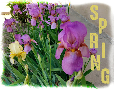purple and yellow iris bloom by the gasden museum in mesilla new mexico