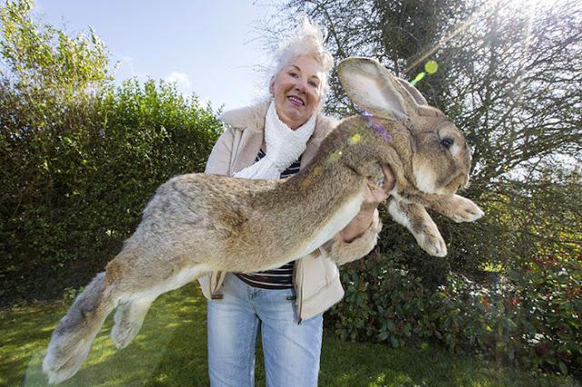 Darius o coelho