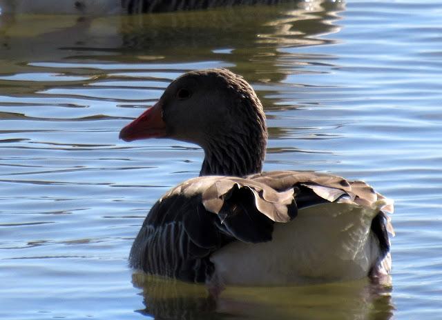 Aves en la laguna de Villafáfila