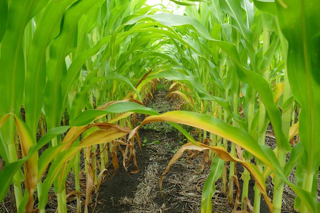 nutrient interactions fertilizer minnesota soil