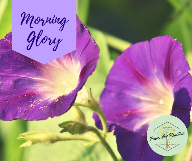 Spring safety 10 common flowers that are toxic to dogs Morning Glory