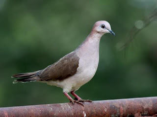 Doves dream meaning