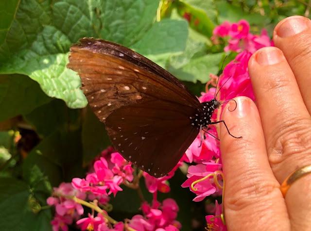 borboleta - Tailandia