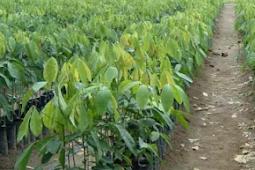 Hama dan penyakit tanaman karet dan Pengendaliannya pada Pembibitan Terpadu