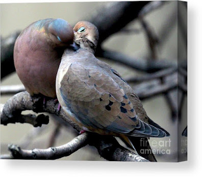 This is a screen shot of a canvas print which I'm selling on Fine Art America. It features two very amorous Mourning doves. Info is @ https://fineartamerica.com/featured/cooing-mourning-doves-2-patricia-youngquist.html?product=canvas-print