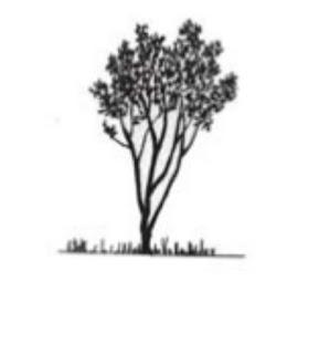 Mengenal Mangrove : Avicennia officinalis L.