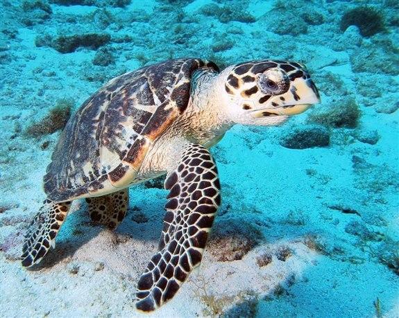 Deniz Kaplumbağası - D hayvan