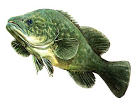 Cod Fish Animal Pictures