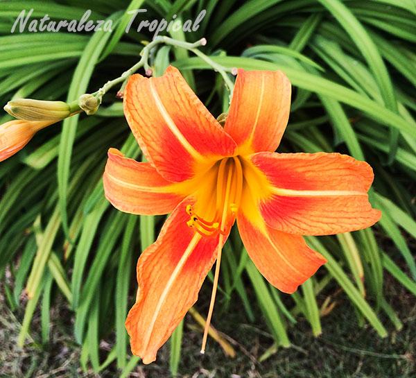 Flor de Hemerocallis fulva, Lirio de un día