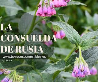Planta de Consuelda de Rusia, Symphytum x uplandicum