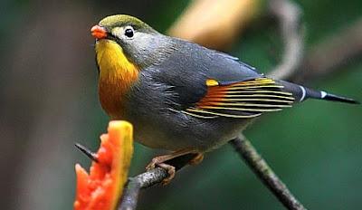 burung pancawarna