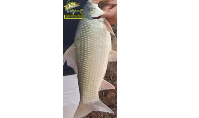 صيد سمك اللبيس النيلى