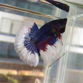 icalofish.blogspot.com ikan cupang kotaserang banten