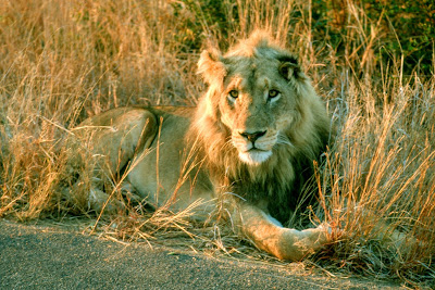 Kruger National Park, lion, safari, wildlife, South Africa
