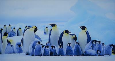 Rischio estinzione pinguini imperatore: entro il 2100