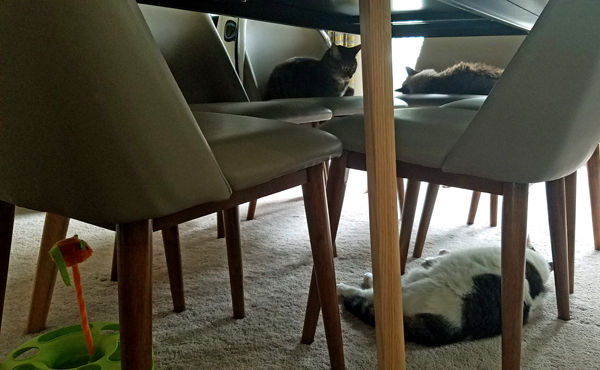 image of Sophie the Torbie Cat and Matilda the Fuzzy Sealpoint Cat lying on dining room chairs, while Olivia the White Farm Cat lies on the floor below the dining room table