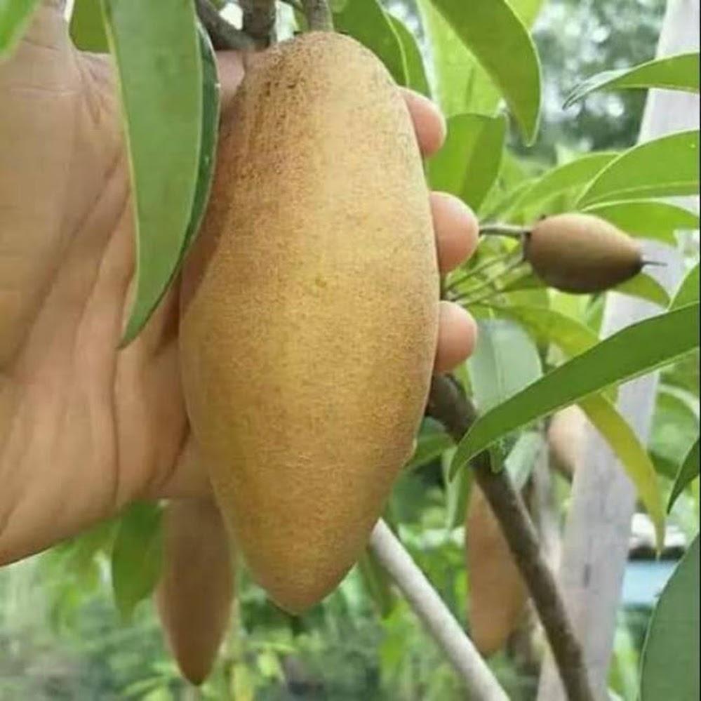 Bibit tanaman buah sawo mentimun Palu