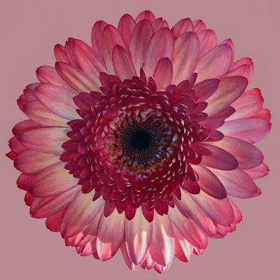 صورة وردة خلفية موبايل