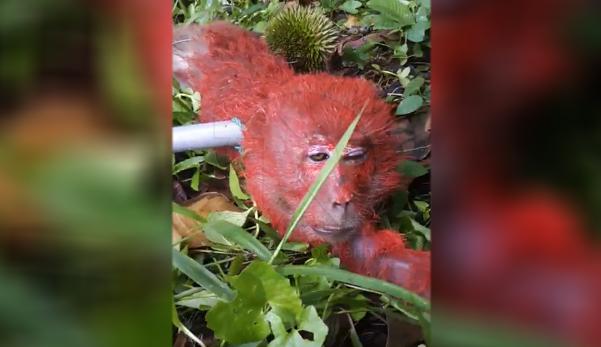 (Video) Curi buah durian, pekebun tangkap & ikat kaki & tangan monyet dengan buah durian, sembur cat merah