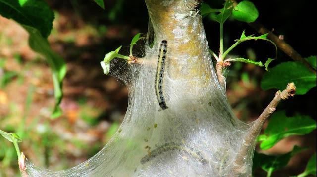 Tent Caterpillars On Apple Tree