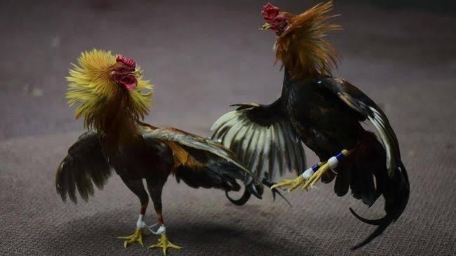 Kumpulan Nama nama Ayam Jago yang Bagus Juara Petarung