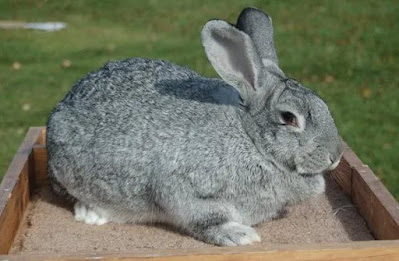 American rabbit breed