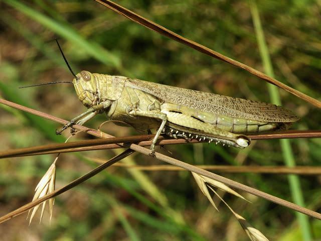 The Egypitan Locust, unafraid of the mortgage penalty
