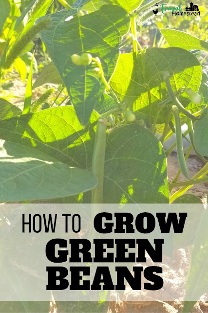 Learn how to grow green beans the easiest and fastest way possible.