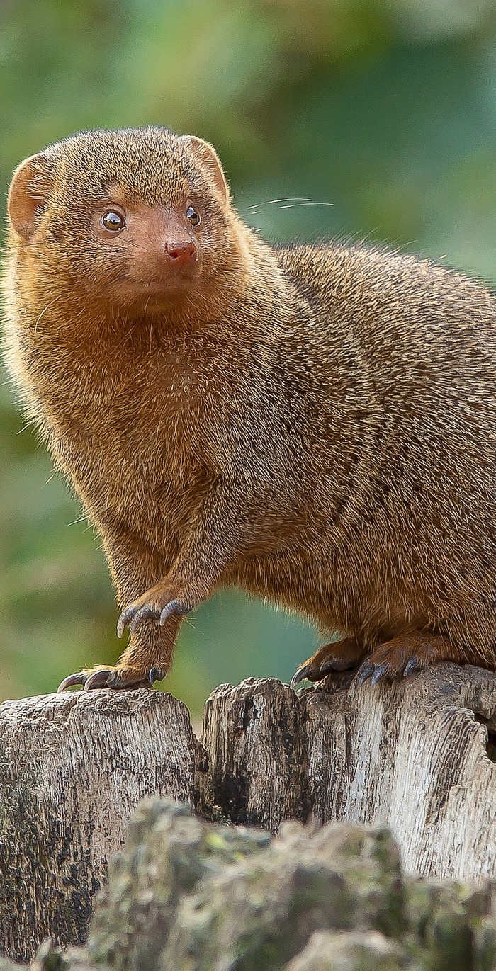 Cute mongoose.