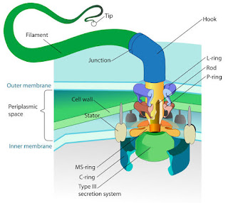 Flagella : Structure & Functions