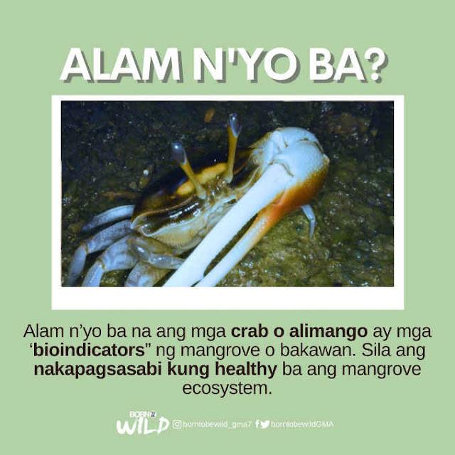 bioindicators ng mangrove o bakawan