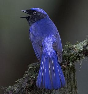 Burung Niltava Kumbung Padi