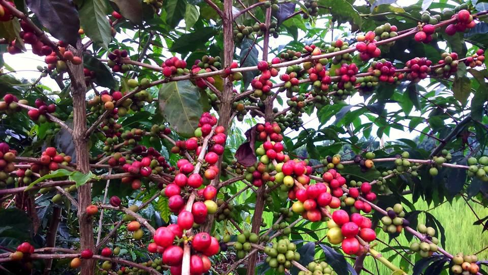 cheri biji kopi siap panen berwarna merah di mamasa Kopi Sulawesi Barat