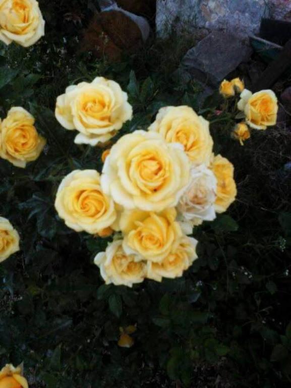 Tanaman hias mawar floribunda Jawa Timur