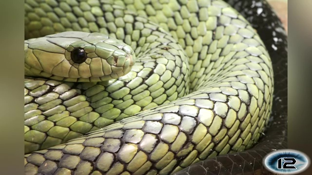 Jameson's Mamba, most venomous snake, most poisonous snake, top ten venomous snake, top ten poisonous snake
