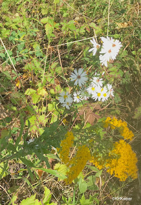 aster and goldenrod, central Michigan