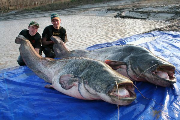ikan keli gergasi